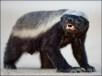 Honey Badger Gets What Honey Badger Wants!