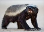 Honey Badger Gets What Honey Badger Wants!